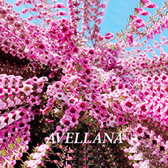 "Album cover art featuring repeated images of flower blossoms and the name ""Avellana"""